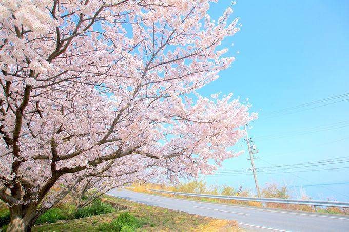 絶景かつ穴場!「天狗岩丁場」登り口の桜並木