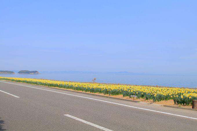 まるで海沿いに敷かれた黄色の絨毯!四海の水仙ロード