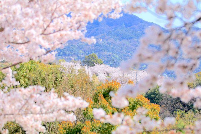 瀬戸内海が見える桜の丘へ!小豆島の春を代表する美しき城山公園