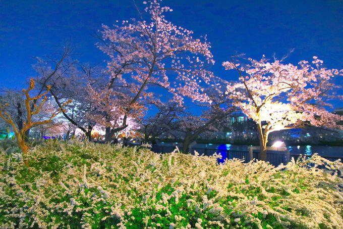 大阪随一の圧巻の桜の景色!美しき夜桜を楽しむ