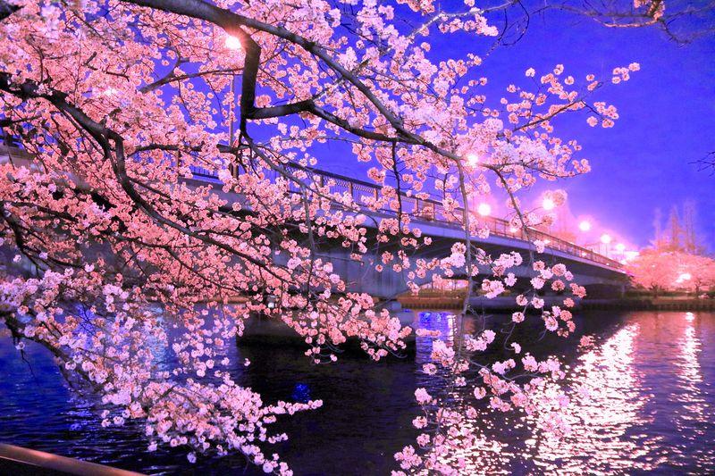 大阪観光や仕事の後に!夜桜が美しい大阪「毛馬桜之宮公園」