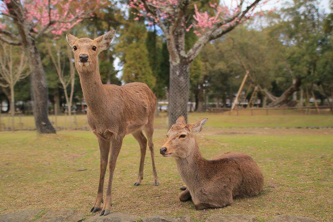 春の奈良公園に添えられる「片岡梅林」の彩り
