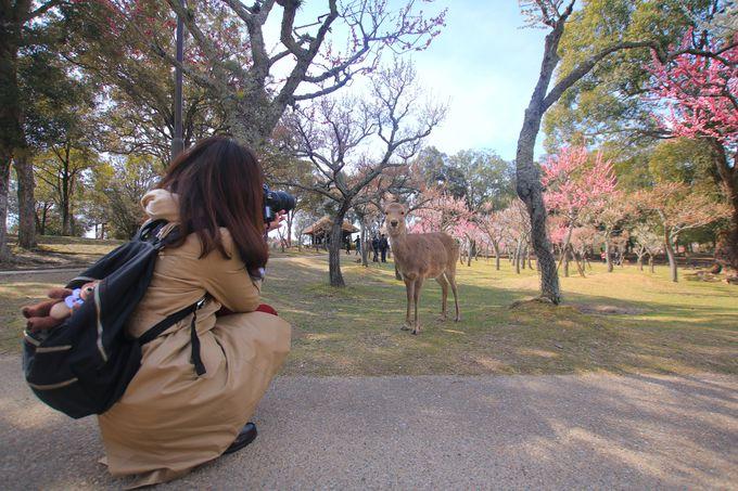 梅と鹿のコラボレーションに癒されるポカポカお散歩