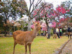梅と鹿を愛でる時間!春の奈良「片岡梅林」で癒しのお散歩