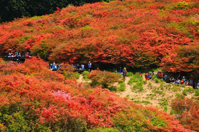 山上に咲き乱れる百花繚乱のツツジが鮮烈!