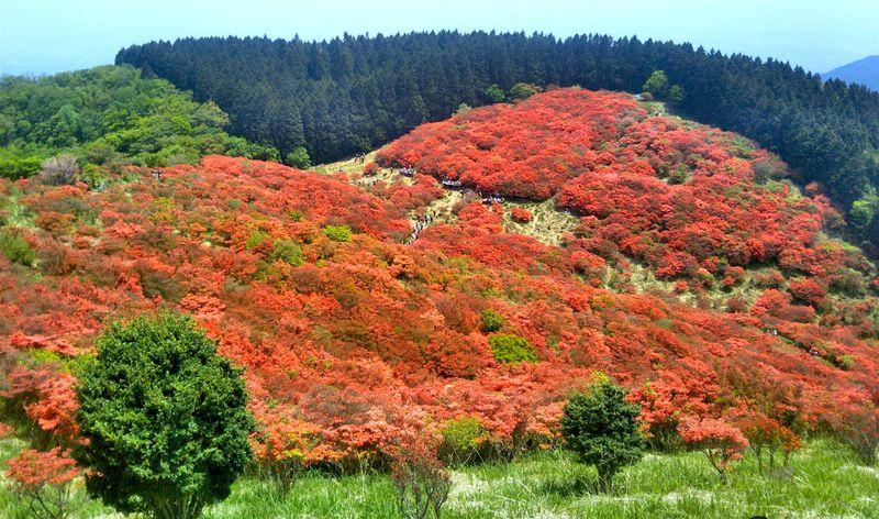 山上に広がるツツジの赤絨毯!大和葛城山へ春登山