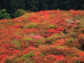 山上に広がる鮮烈な赤絨毯!大和葛城山へ春を感じにハイキング