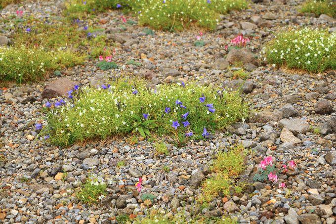 標高約2700mに咲き誇る!高山植物の花畑が必見