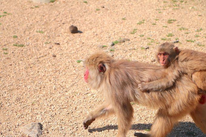 天然記念物のお猿たちに癒される!「銚子渓おさるの国」を満喫