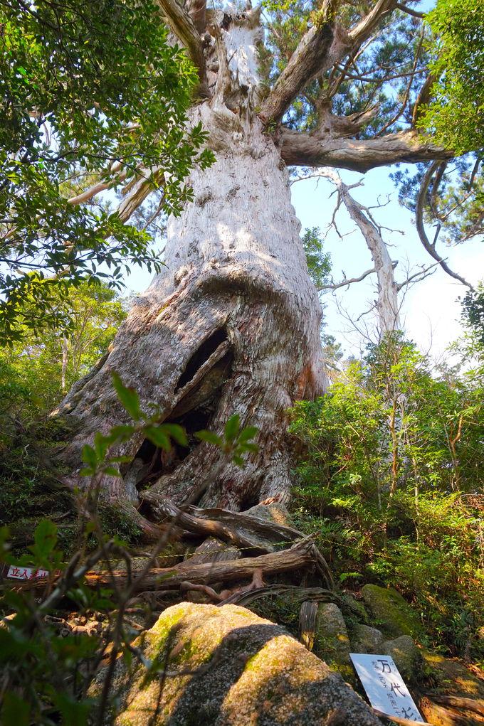 名物となっている名杉も!屋久島らしさが漂う登山道