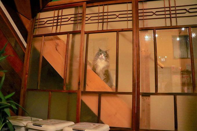 飛騨高山ゲストハウスtau名物!「看板猫LUKE」ちゃんが可愛い