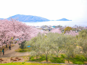 春はなお一層美しい!「小豆島オリーブ公園」桜とオリーブが織りなす絶景