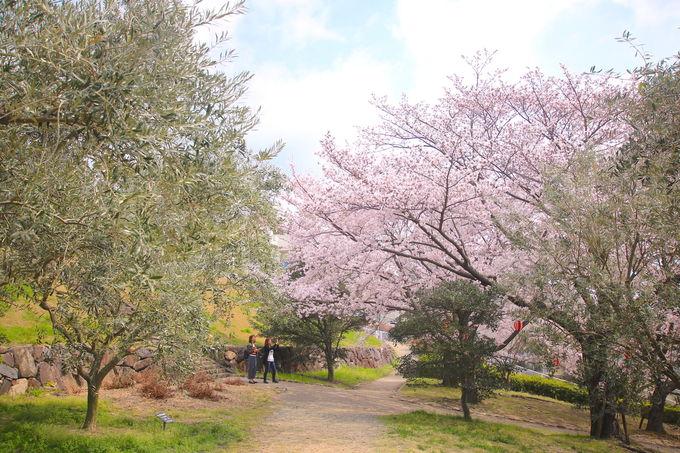 小豆島の定番「小豆島オリーブ公園」!実は隠れ桜名所