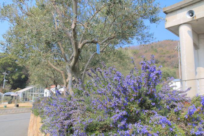 春の小豆島が見せる絶景「小豆島オリーブ公園」桜&オリーブの共演
