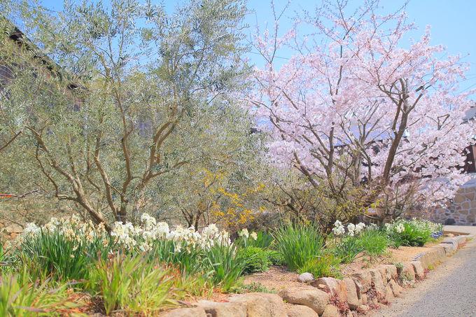 ピンク色に包まれる!香川県・小豆島の「春」