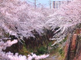 名古屋屈指の桜名所「山崎川 四季の道」美しい桜吹雪とライトアップ