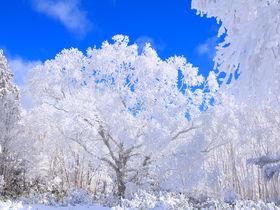 """山頂に一本の氷の桜!飛騨高山「位山」に咲く奇跡の""""霧氷桜"""""""