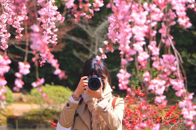 「待賢門院桜」の撮影を楽しもう!遠目からも近くからも