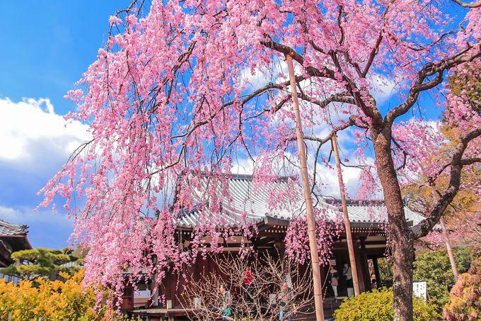 春の「法金剛院」境内中央に咲く美しい「待賢門院桜」