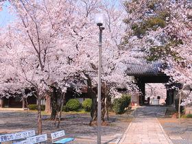 京都の穴場「山科」で桜名所巡り!美しい桜天井に菜の花とのコラボも