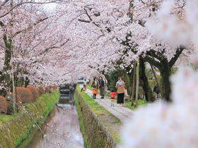 春の京都が美しい!左京区東山「哲学の道」周辺で絶景お花見散歩