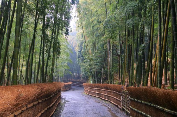向日丘陵「竹の小径」で美しい京銘竹の原風景に触れる