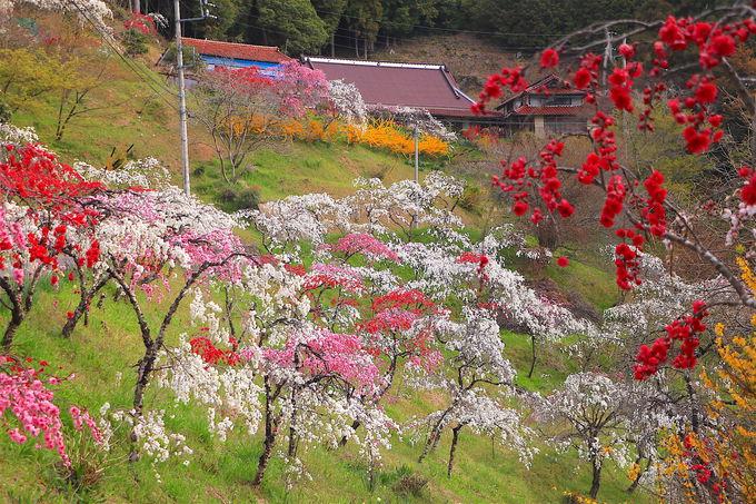 美しい花桃と日本の原風景!豊田市「旭地区」