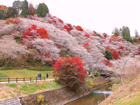 秋に咲く桜?愛知「川見 四季桜の里」で紅葉と花見を一緒に愛でよう