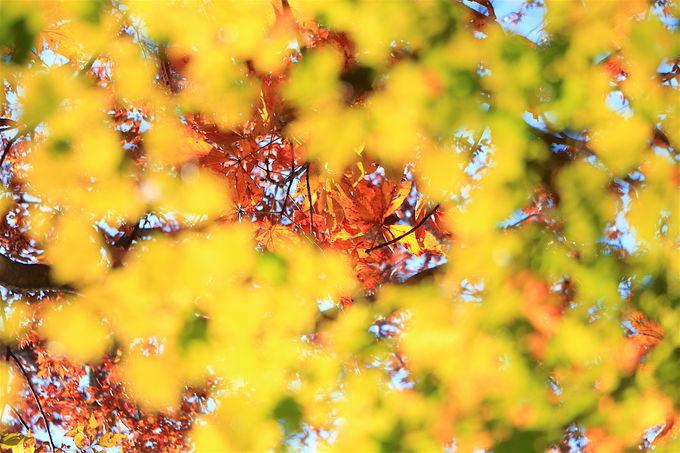 溢れるほどの紅葉シャワーが美しい!高賀山の中腹を歩く