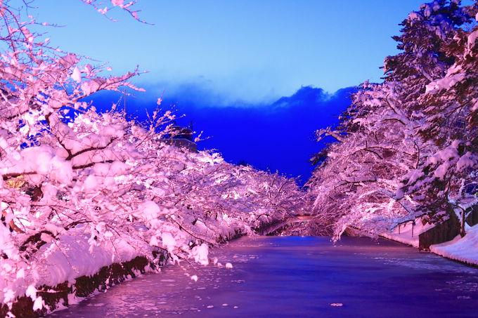 一面がピンク色に包まれる!「冬に咲くさくらライトアップ」