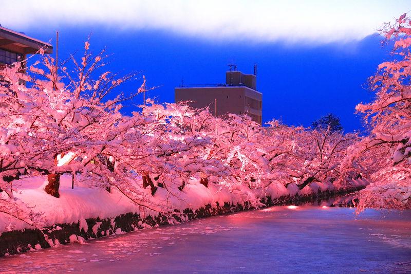 冬を彩る満開の雪桜!弘前の風物詩「冬に咲くさくらライトアップ」