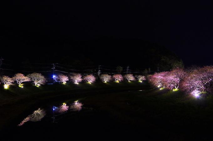 足湯で待ち、幻想的な夜桜を!「伊豆の夜桜ライトアップ」