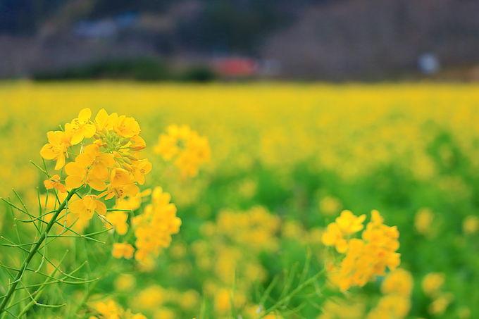 目の前に広がる黄色の絨毯!「元気な百姓達の菜の花畑」