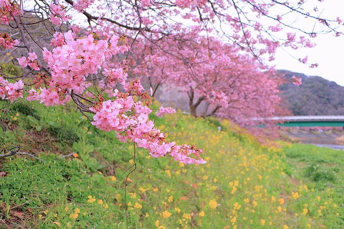 菜の花と桜の見事な共演!「みなみの桜と菜の花まつり」