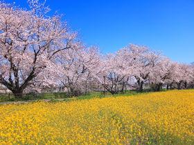 パステルな桜と菜の花が共演!愛知県「五条川」花見徹底ガイド