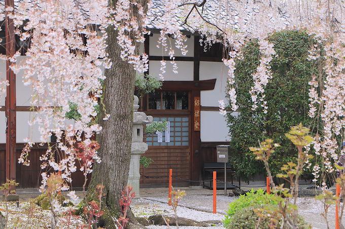 祇園しだれの姉妹桜!圧巻のしだれ桜が見事な「本満寺」