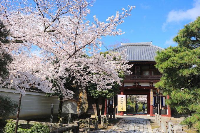 京都のキービジュアル!?多宝塔と桜が織りなす「本法寺」