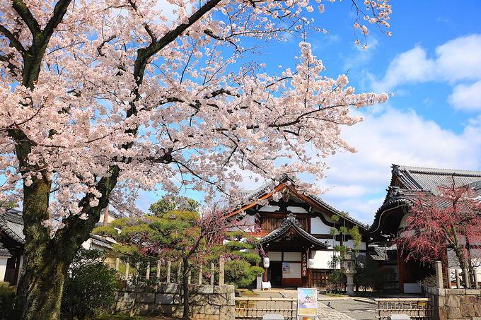 桜に挟まれる勅使門も!境内が桜で満たされる「妙顕寺」