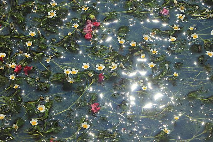 夏の醒井の風物詩。水中花「梅花藻」が可愛らしく涼やか