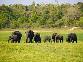 野生のゾウも間近に!スリランカ「ミンネリア国立公園」サファリ