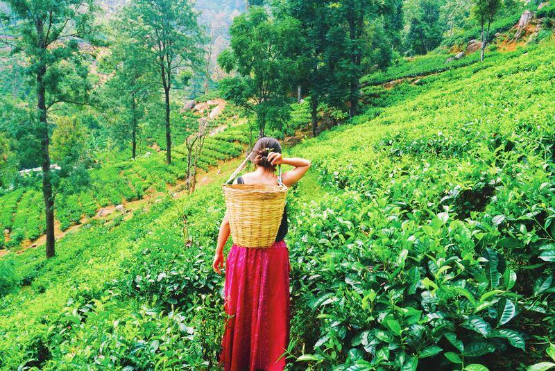 スリランカのお茶工場見学!グレンロック・ティー・ファクトリー