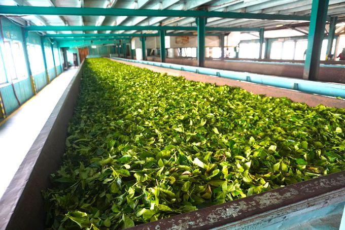 工場ではお茶がつくられる工程が見られる