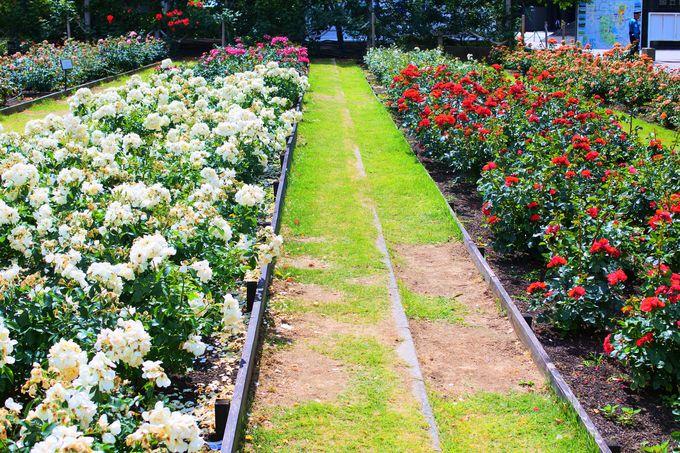 「平和のバラ園」で世界のバラを鑑賞!