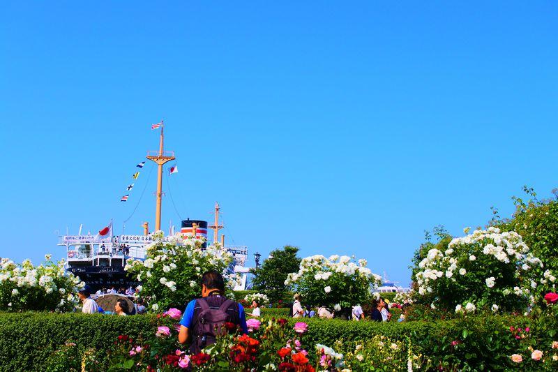 春と秋の年2回バラを鑑賞できる!横浜・山下公園「未来のバラ園」
