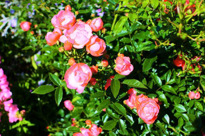 バラは横浜市のシンボル!