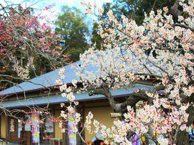 素晴らしい大名庭園!水戸「偕楽園」で出会える風流な梅の花