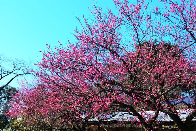 春先に見頃を迎える梅の花!