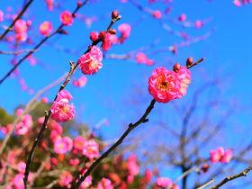 春先には可愛らしい梅の花!歴史が感じられる「小田原城址公園」