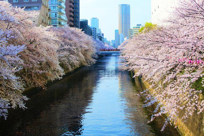 一度は見たい目黒川の桜並木!