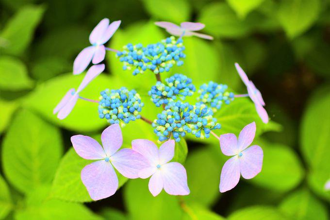 園内に咲き誇る綺麗な紫陽花!